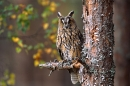 Long Eared Owl on pine.