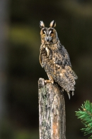 Long Eared Owl on post.
