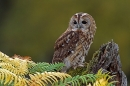 Tawny on bracken stump.