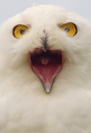 Snowy Owl mouthy portrait. Sept. '16.