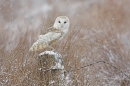 Barn Owl in the snow 1.