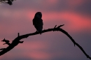 Sunset silhouetted Barn Owl.