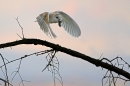 Barn Owl in flight,with vole.