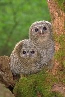 2 Young Tawny Owls.