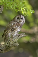 Tawny on spring branch 2.