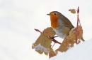 Robin on snowy leaves. Dec '10.