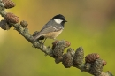 Coal Tit on larch cones.