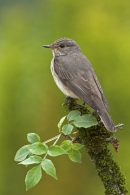 Spotted Flycatcher on elder branch.