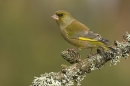 Greenfinch,m on lichen branch.