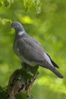 Woodpigeon on ivy stump.
