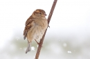 Female House Sparrow on snowy stem 2. Dec '17.