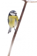 Blue tit on snowy stem 2. Dec '17.