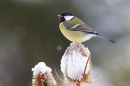 Great tit on snowy teasel. Dec '17.