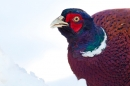 Cock Pheasant feeds in snow portrait. Jan '18.