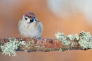 Tree Sparrow. Jan '18.