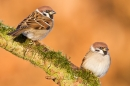 2 Tree Sparrows. Jan '18.