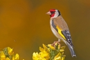 Goldfinch on gorse. May '18.