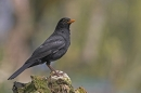 Blackbird,m on stump.
