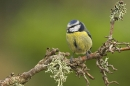 Blue Tit on twig.