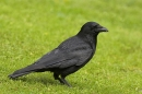 Carrion Crow on lawn.