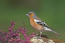 Chaffinch,m on heather rock.