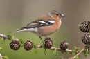Chaffinch m on larch cones.