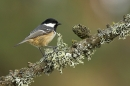 Coal Tit on larch branch.