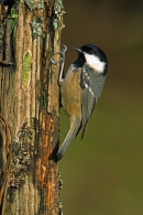 Coal Tit on nail post.