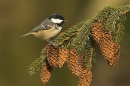 Coal Tit on spruce cones.