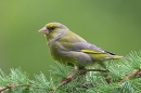Greenfinch,m on larch.