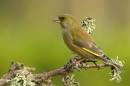 Greenfinch,m on twig.