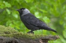 Jackdaw on mossy stump.