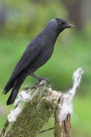 Jackdaw on old fence.