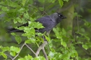Jackdaw on spring beech.
