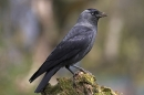 Jackdaw on stump.