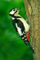 Male Great Spotted Woodpecker at nest hole.