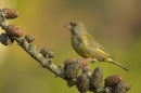 Male Greenfinch on larch cones.