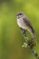 Spotted Flycatcher.