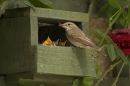 Spotted Flycatcher at nestbox.