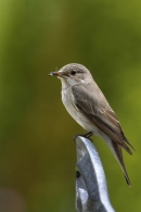 Spotted Flycatcher on garden chair back.