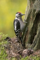 Young Great Spotted Woodpecker.