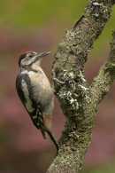 Young Great Spotted Woodpecker,feeding.