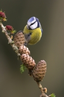 Blue Tit on larch cone.