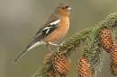 Male Chaffinch on frosted spruce branch.