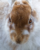 Mountain Hare Portrait 1. Apr.'13.