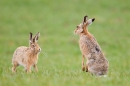 Brown Hares,the confrontation 1. Apr. '15.