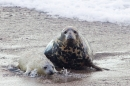 Grey Seal mum and pup on the beach. Nov '17.