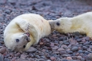 Grey Seal pups. Nov '17.