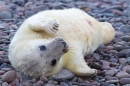 Grey Seal pup on beach. Nov '17.