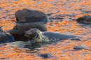 Grey Seal mum and pup in reflected red sea. Nov '17.